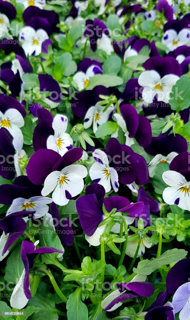 Purple and white violets meadow. Beautiful floral close up from above. royalty-free stock photo