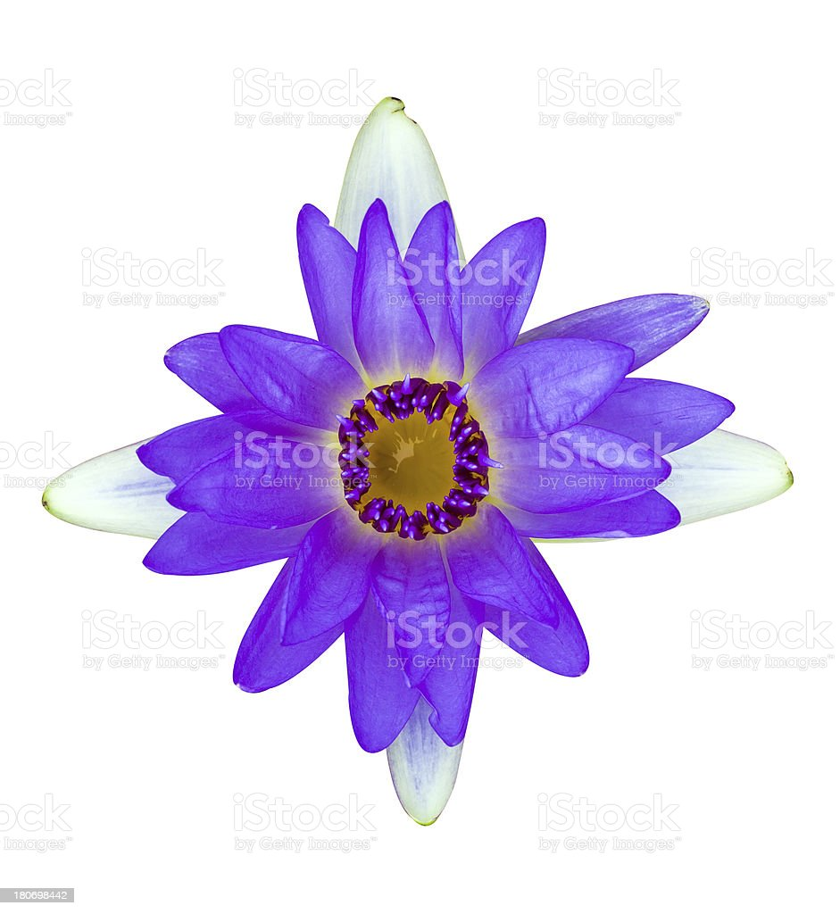 Purple and white water lily isolated royalty-free stock photo