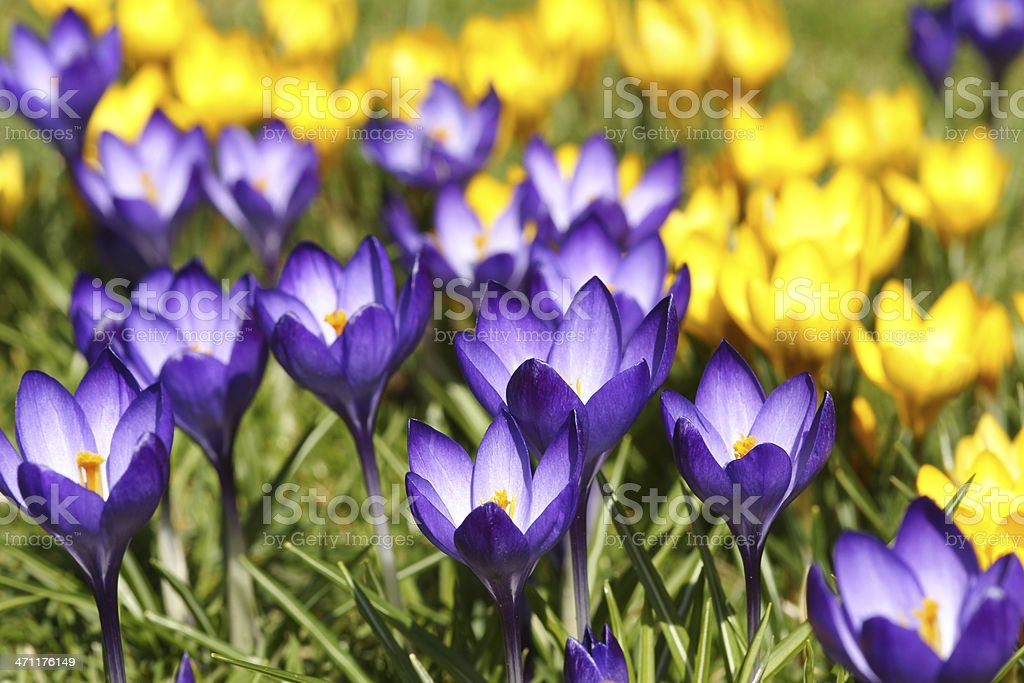 Purple and yelloe crocuses royalty-free stock photo