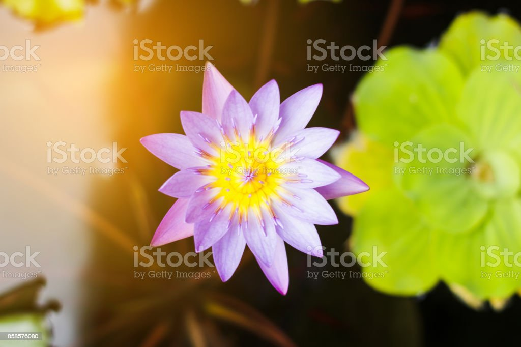 Purple and yellow lotus or water lily with huge green water leafs in dark pond with orange light. Flowers for Buddhism. From top view. stock photo