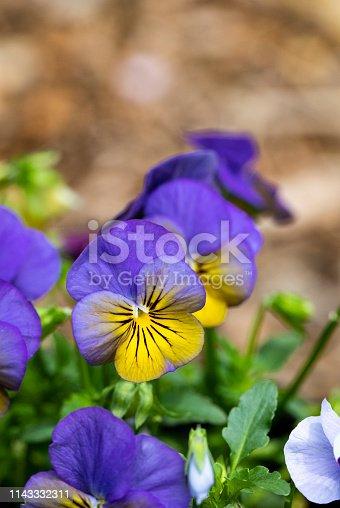 istock Purple and Yellow Pansies 1143332311