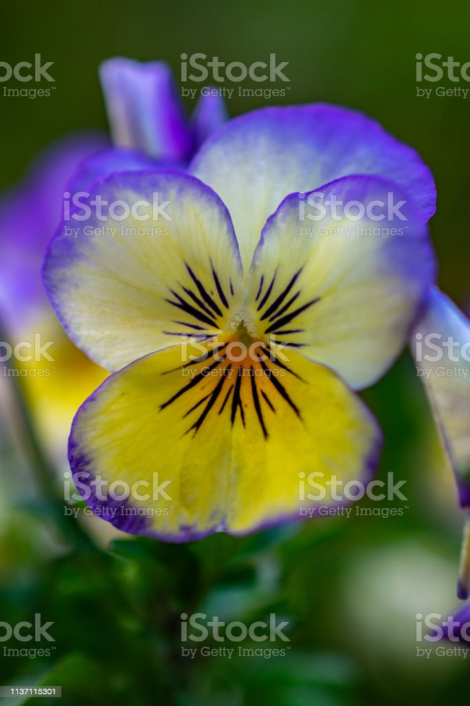 purple and yellow spring flower stock photo