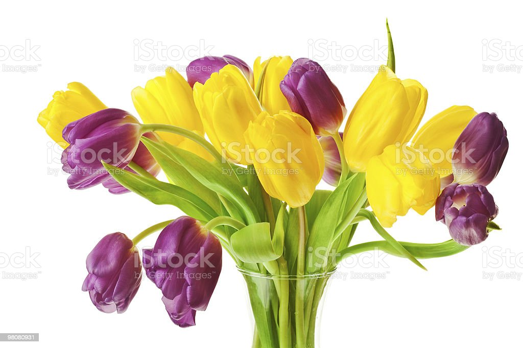 Purple and Yellow Spring Tulips Isolated royalty-free stock photo