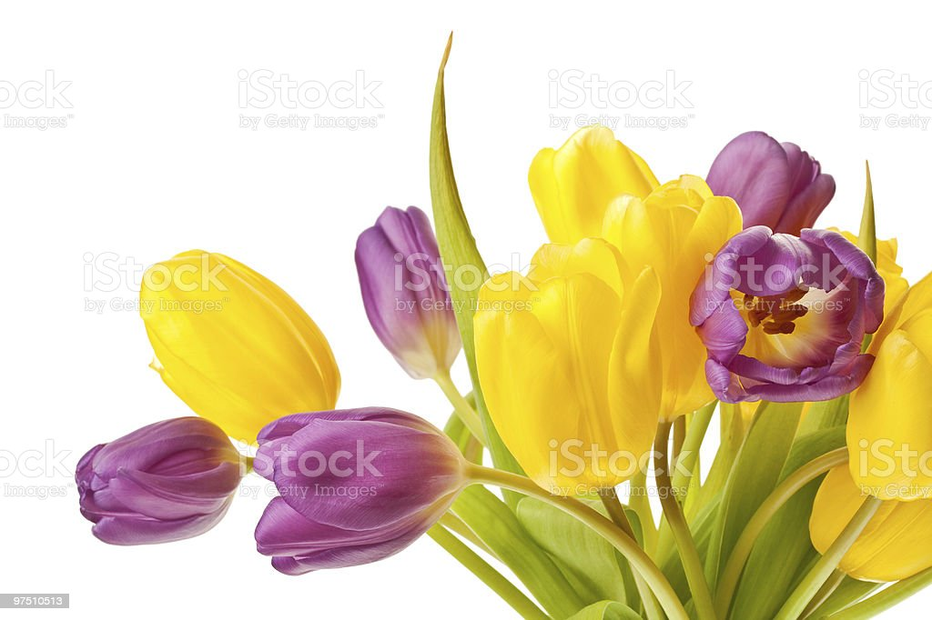 purple and yellow tulips isolated royalty-free stock photo