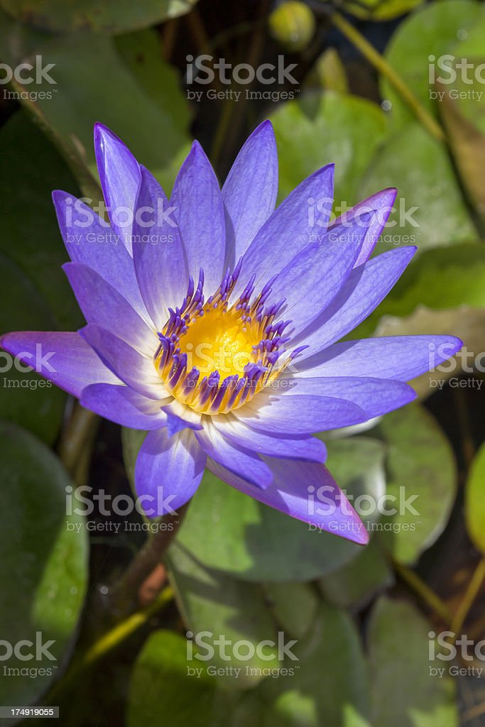 Purple and yellow waterlily royalty-free stock photo