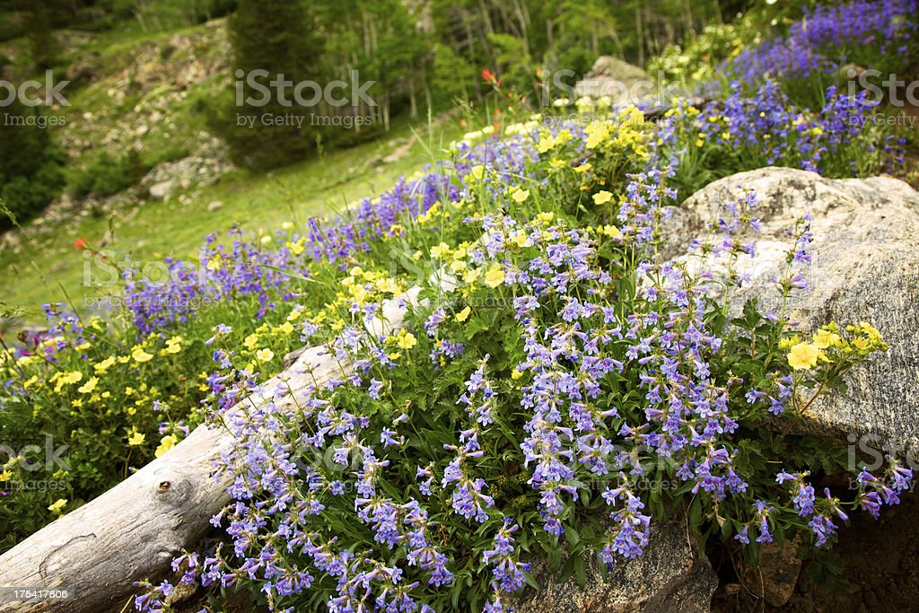 Purple and Yellow Wildflowers in Colorado Mountains stock photo