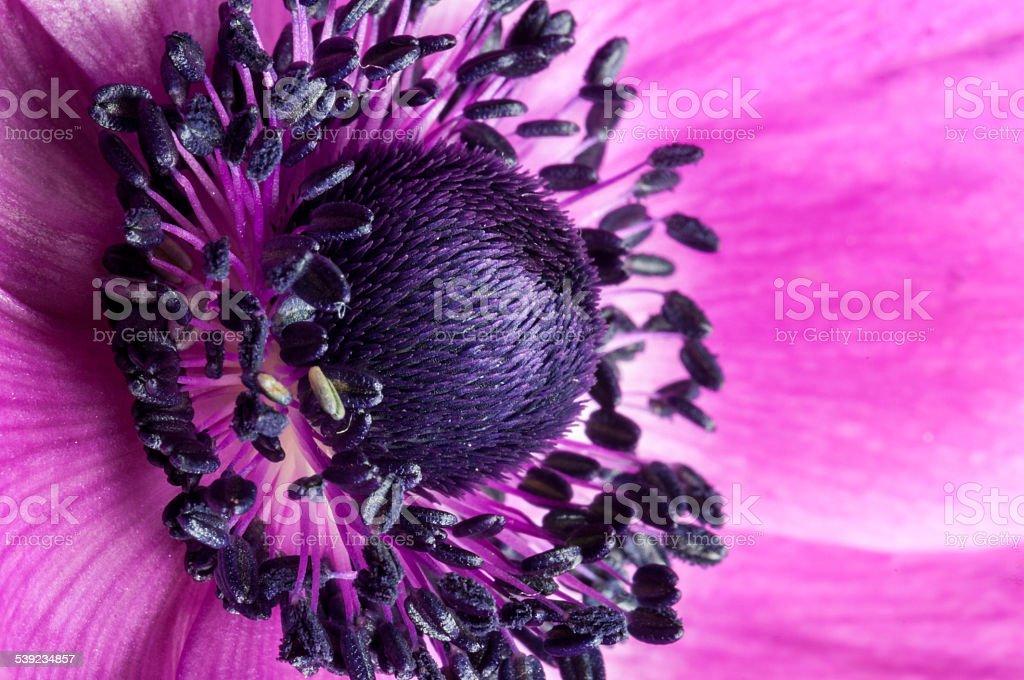 Purple anemone flower head macro- Stock Image royalty-free stock photo