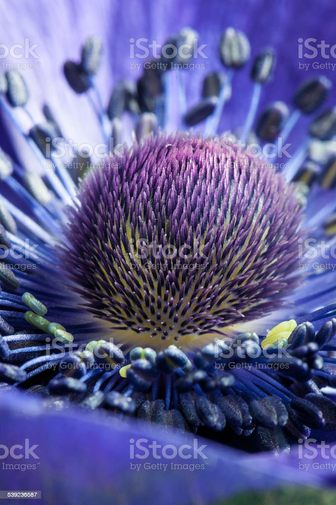 Anémona de flor púrpura macro- imagen de Stock foto de stock libre de derechos