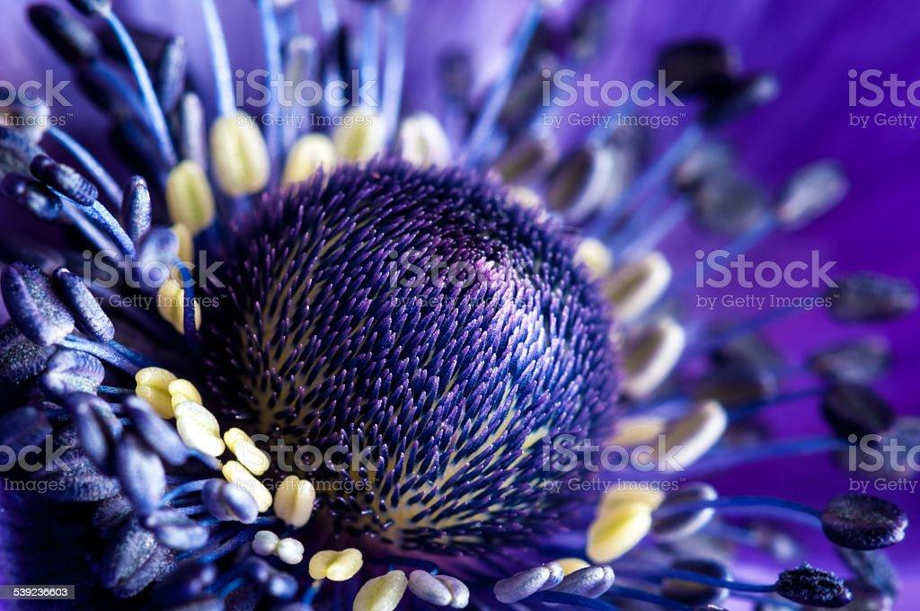 Anêmona Roxa Cabeça da flor macro-imagem Stock foto royalty-free