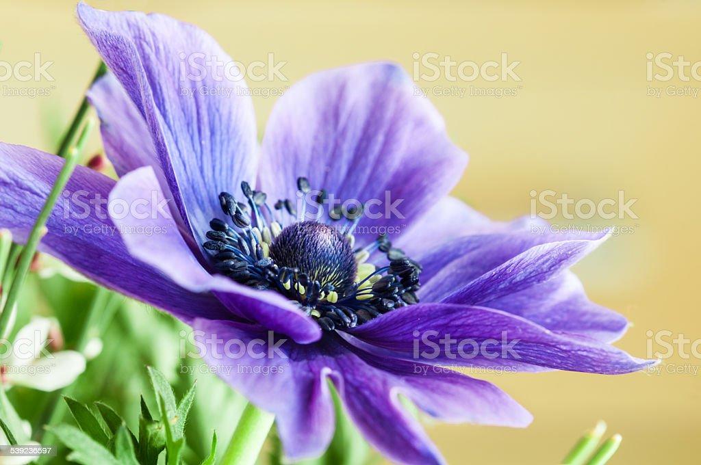 Purple anemone flower macro. Stock Image royalty-free stock photo