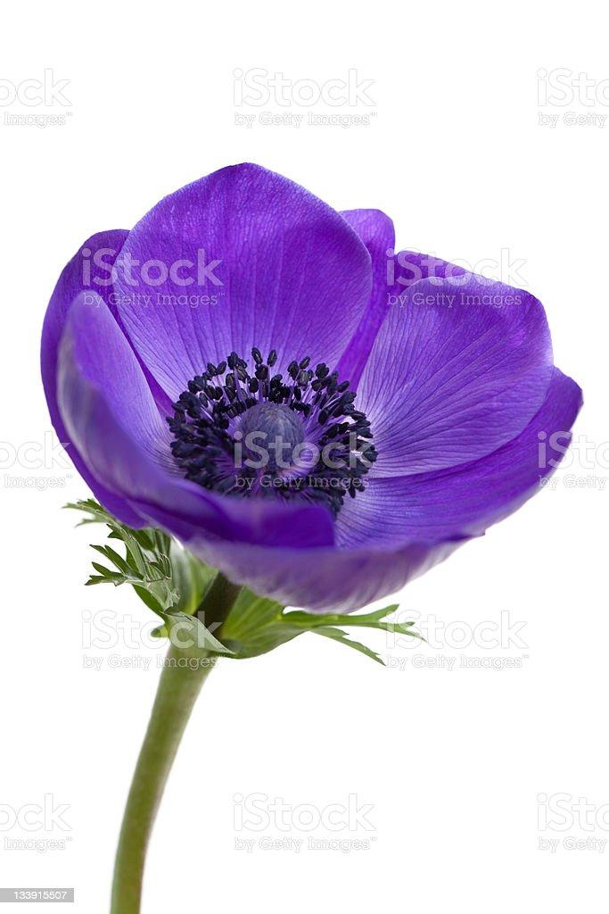 Purple Anemone Flower stock photo