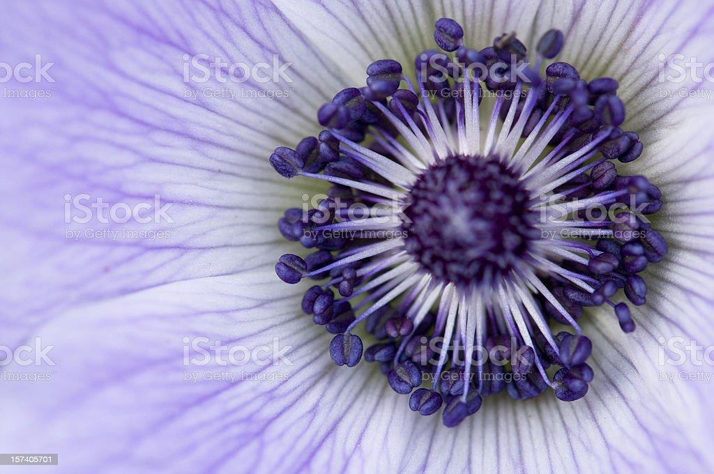 purple anemone macro stock photo