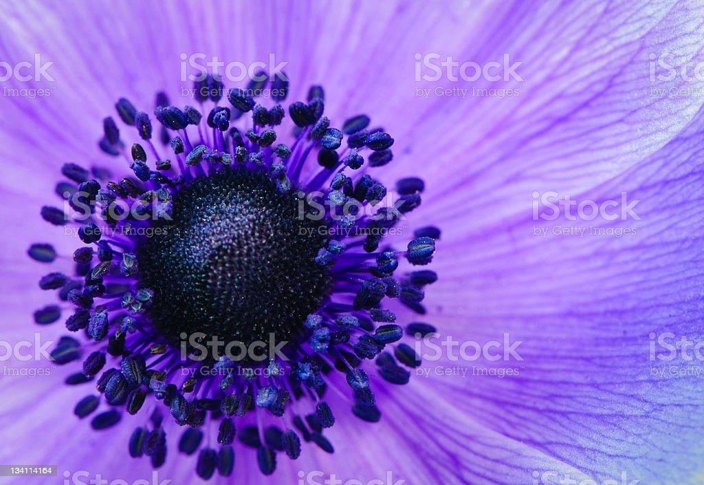 Purple anemone poppy stock photo