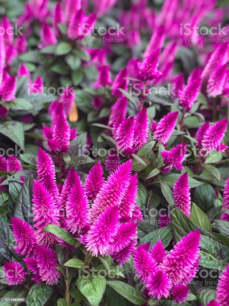Purple annual flowers stock photo