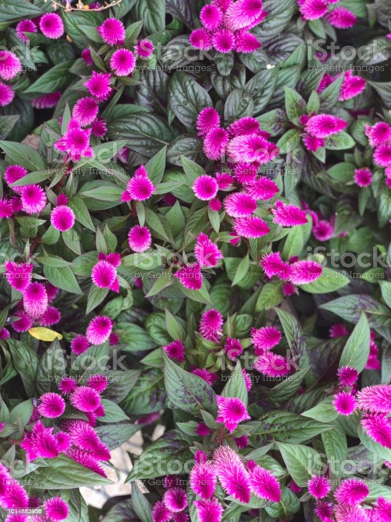 Purple Annual Flowers Stock Photo More Pictures Of Annual Istock