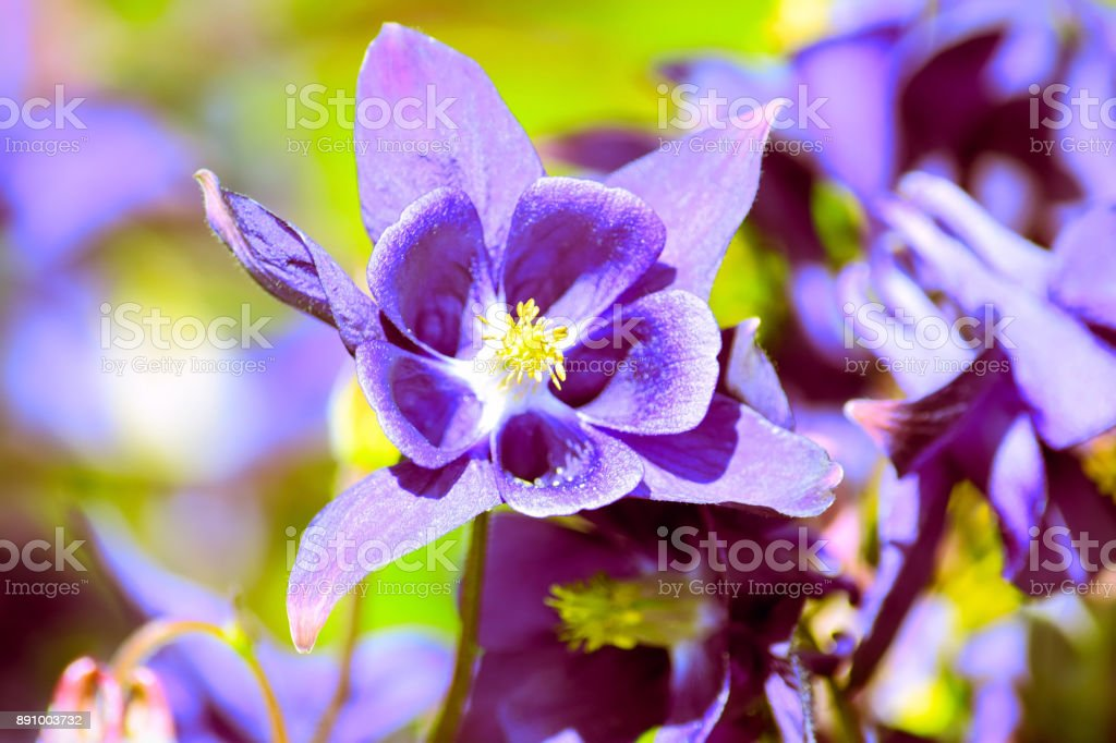 Purple aquilegia flowers in bright Spring sunshine stock photo