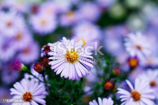 the image shows a group of violet aster