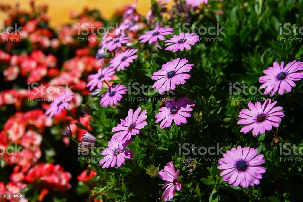 Mor Aster çiçek - Royalty-free ABD Stok görsel