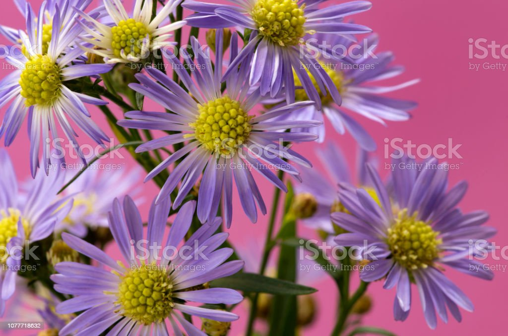 Purple Asters against a Pink Background stock photo