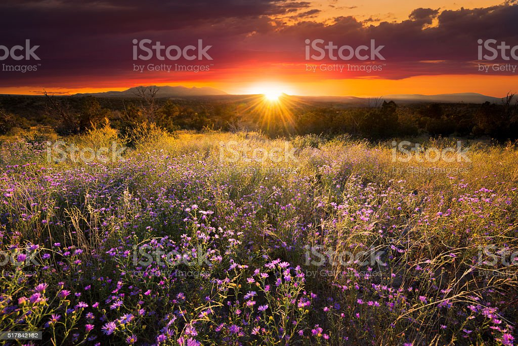 Purple Asters at Sunset stock photo