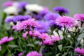 Purple Asters close up