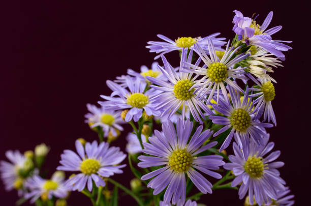 Purple Asters with Copy Space stock photo