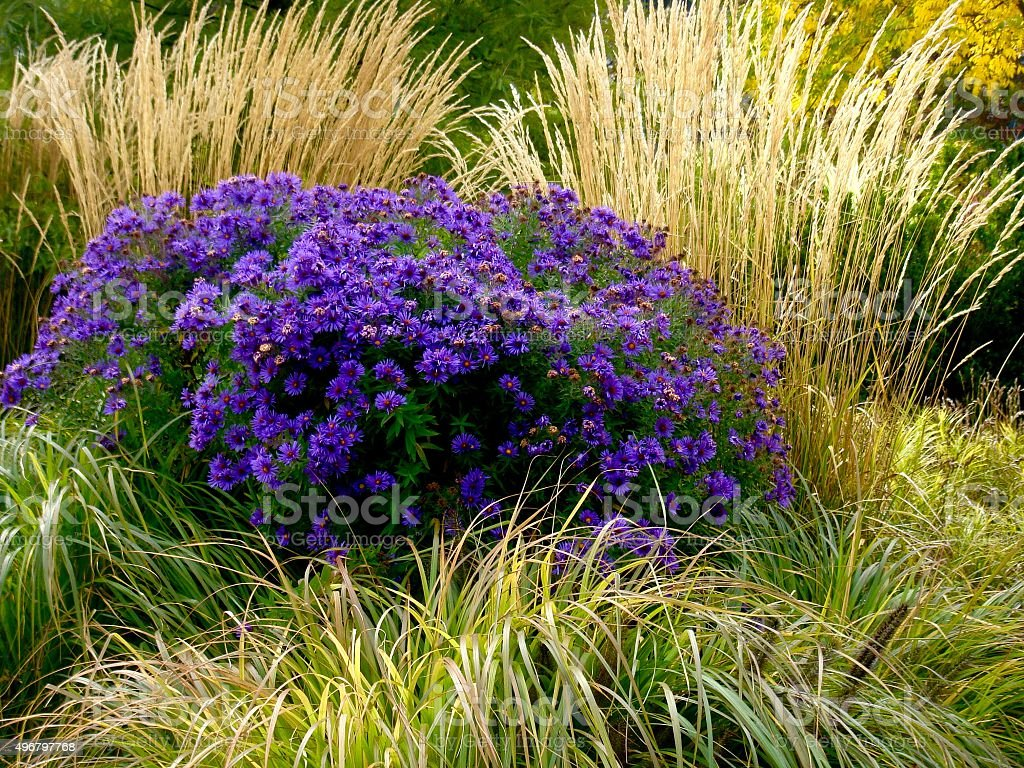 Purple Asters with Golden Grasses stock photo
