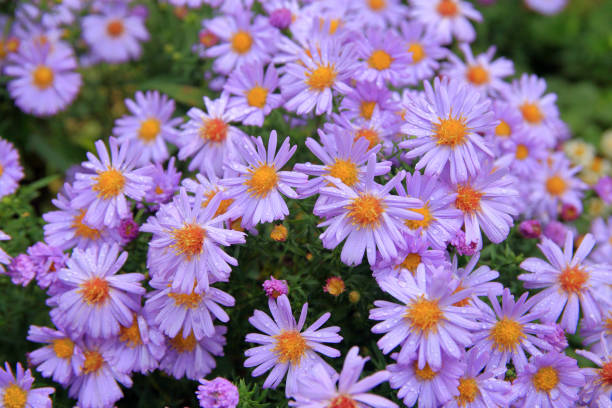 Purple autumn flowers called asters.