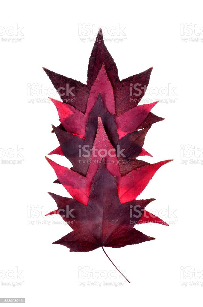 purple autumn leaves on an isolated stock photo