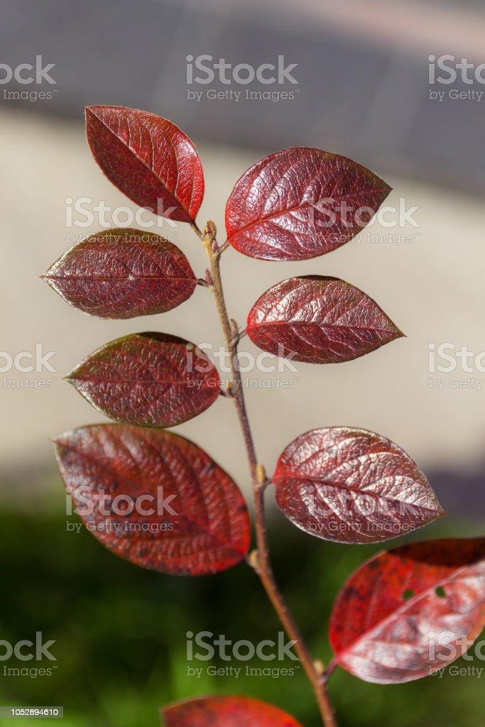 purple autumn leaves – zdjęcie