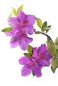 beautiful flowery azalea plant of violet color isolated from the white background