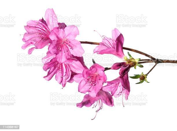 Photo of Purple azalea
