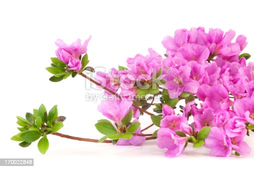 Purple Japanese Azalea on white background. Selective focus.
