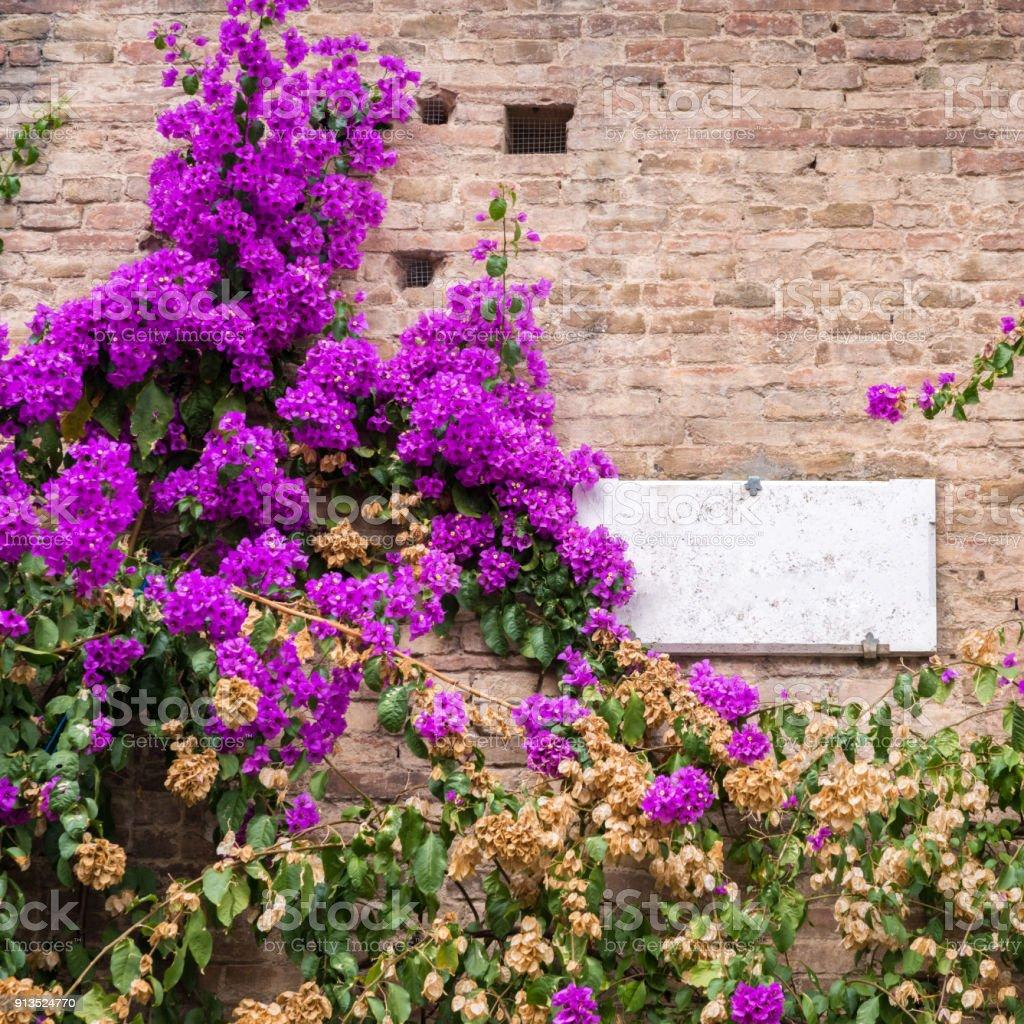 Planta De Azaleas Purpuras En La Fachada De La Pared Del Edificio En Siena Toscana Italia Foto De Stock Y Mas Banco De Imagenes De Arbusto Istock