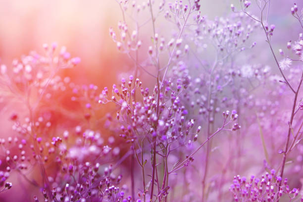 Purple background of grass flower with sunlight romance background picture id876971820?b=1&k=6&m=876971820&s=612x612&w=0&h=yrwdofnma1kdbse9bstfs7mwhxd1umtrrxpwjtc4ozg=