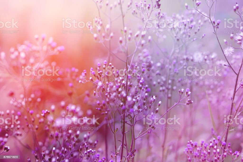 purple background of grass flower with sunlight, romance background for valentine stock photo