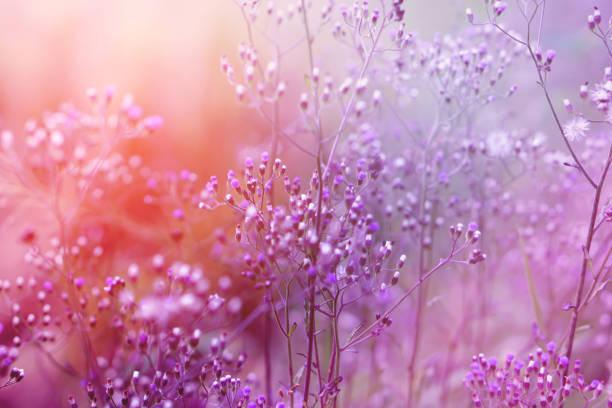 fond violet de fleur herbe aux rayons du soleil, fond de romance pour la Saint-Valentin - Photo