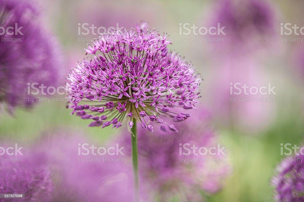 Purple ball flower stock photo