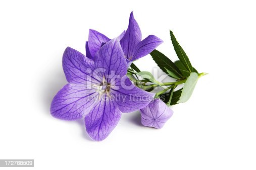 Balloon Flower blossom, bud and leaves. Isolated on white.