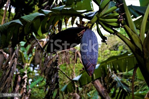Purple banana blossoms with green fruits spotted in Costa Rica