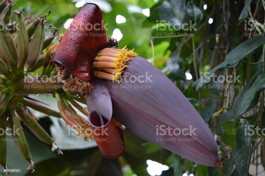 Purple banana tree flower stock photo
