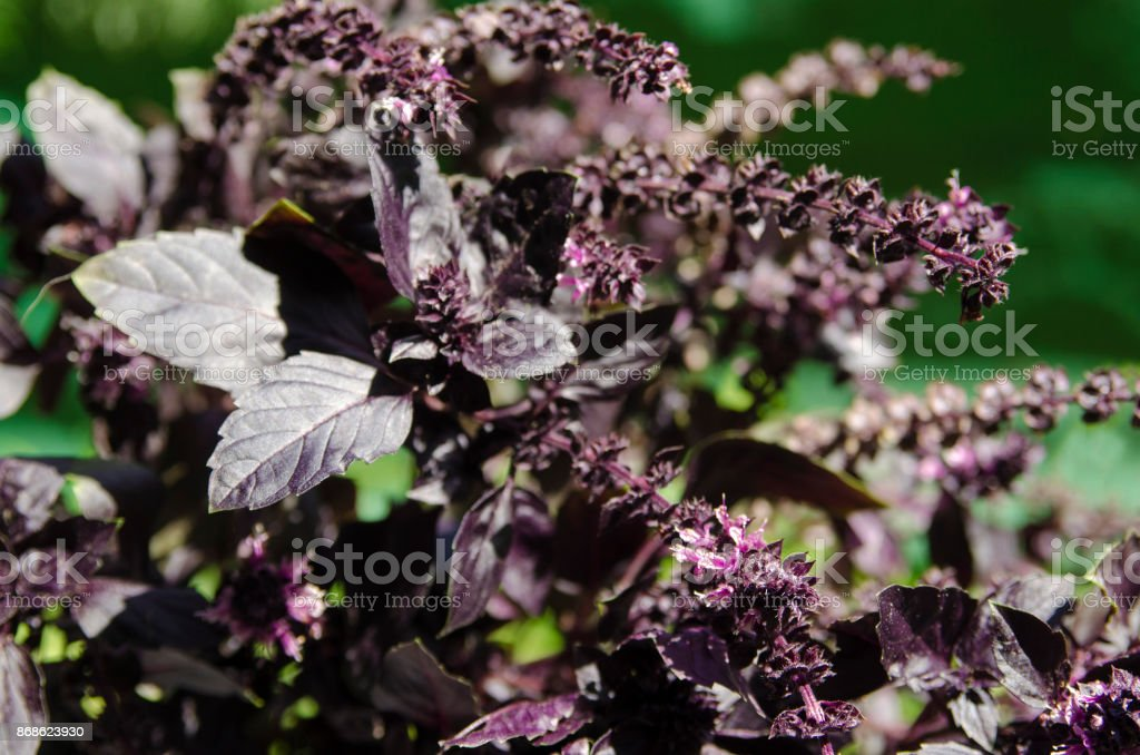 Purple basil herb branch close up in nature. Fine aromatic Mediterranean spice stock photo
