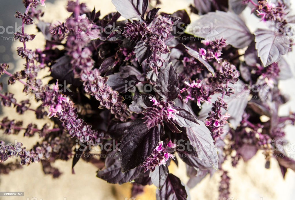 Purple basil spice herb close up. Beautiful plant ingredient in mediterranean kitchen. Violet herb with great fragrance for aromatherapy. Colorful basil leaves top view. stock photo