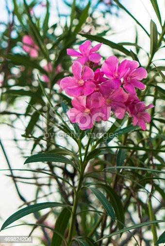 istock Purple Bauhinia Flower bloom in garden 469824206