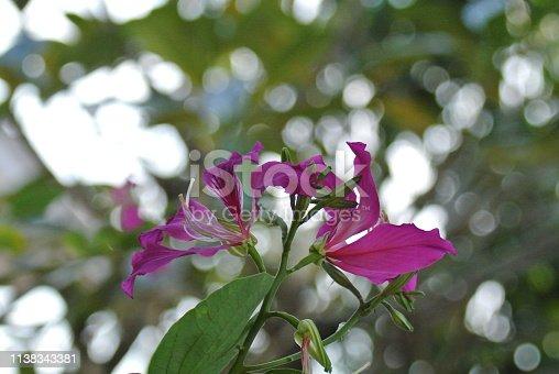 istock Purple bauhinia is a popular flower in Thailand 1138343381