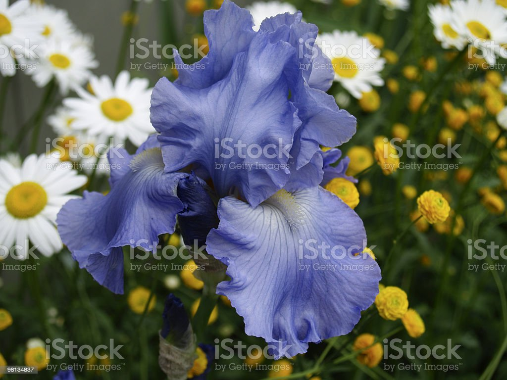 Purple Bearded Iris and White Daisies royalty-free stock photo