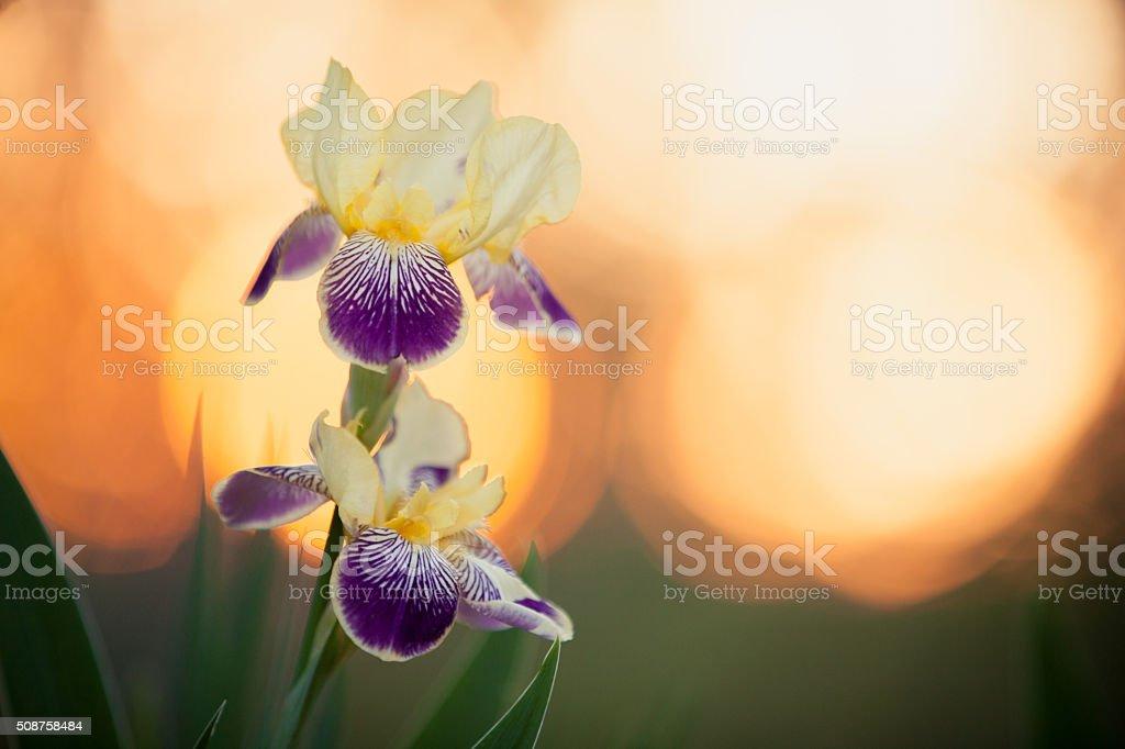 Purple Bearded Iris stock photo