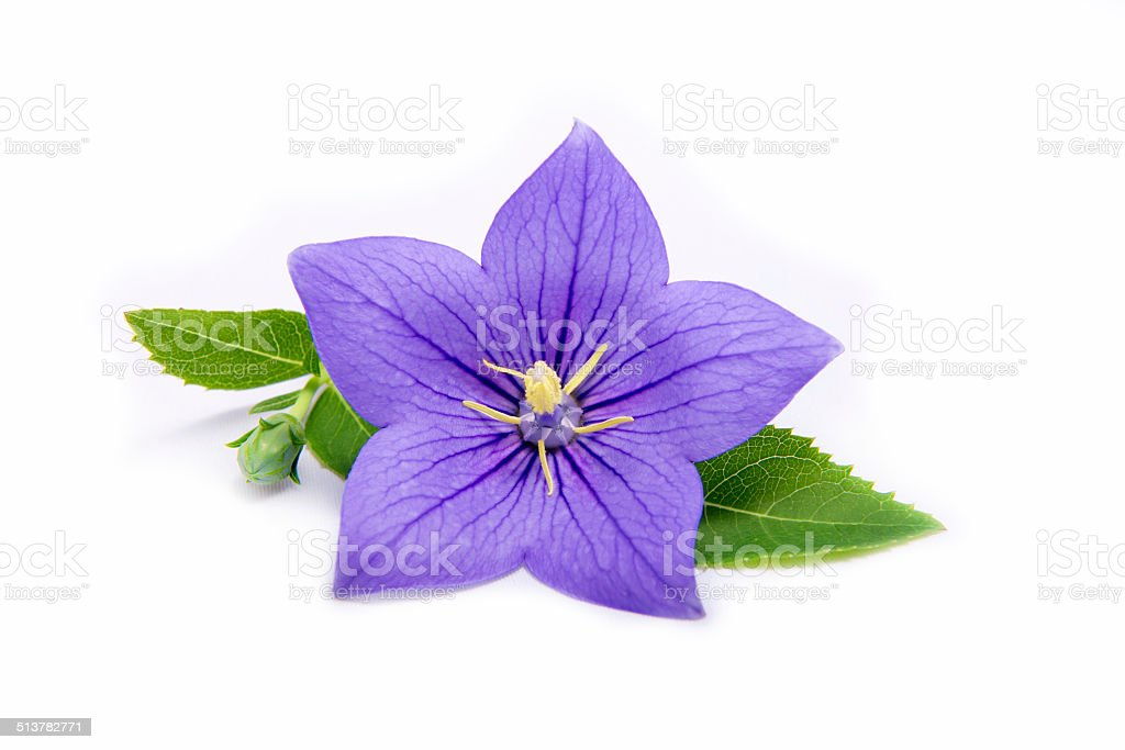 Purple bell flower and leaves - isolated on white stock photo