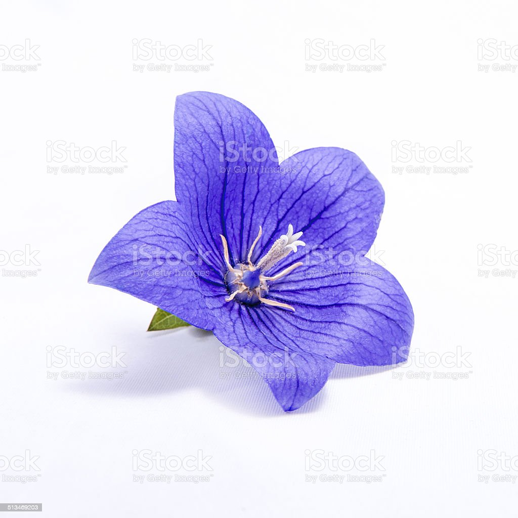 Purple bell flower isolated on white stock photo