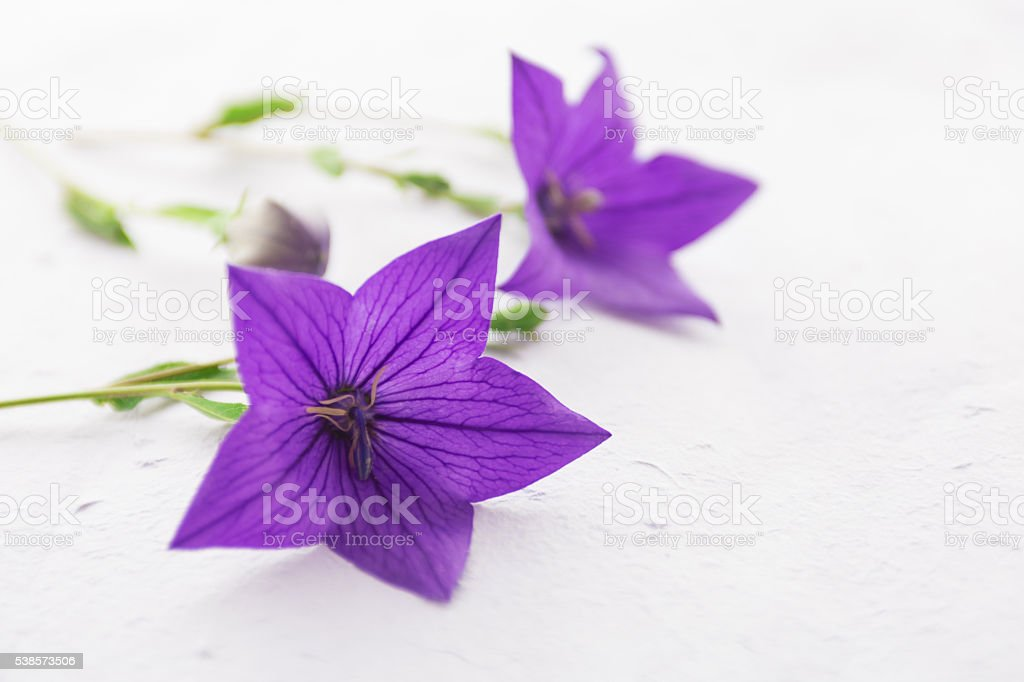 purple bellflower stock photo